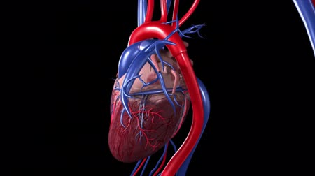 rim : 3d rendering of human heart