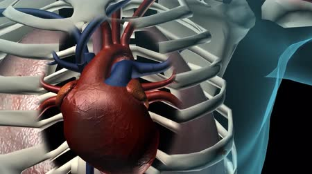 braun : The human vascular system. Heart and vascular pathways Stock Footage