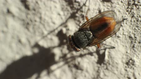 diptera : A macro clip of a a little golden fly moving legs and head