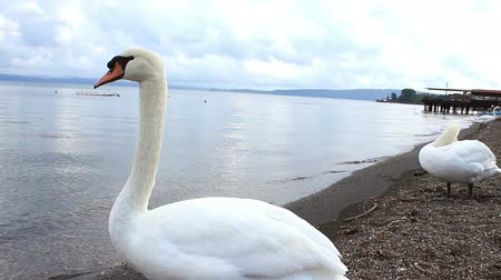 лебедь : A clip with a swan that looks around twisting his neck at a lakeside setting, on the Bracciano lake, near Rome, Italy