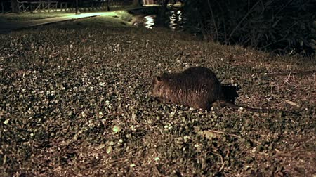 предъявитель : A Coypu (nutria) clip at night at Trevignano lake front Near Rome, Italy