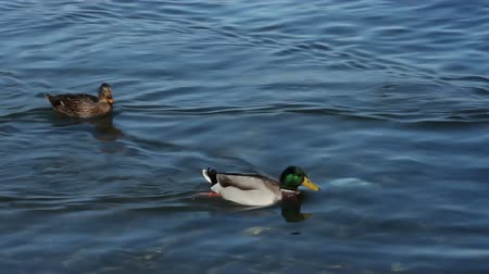 утки : Two mallard duck are swimming in the lake, from a sunny area to a darker one, shot from high