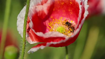 polinização : Close up bee eating nectar from the poppy. Stock Footage