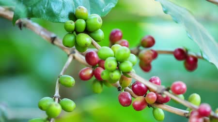 vagens : Closeup Ripe Coffee cherries beans on a coffea tree branch