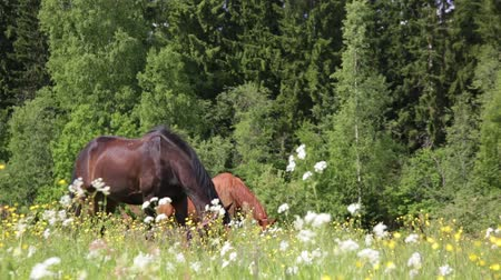 конный : Horses eat grass on the summer pasture. The weather changes from cloudy to sunny. Стоковые видеозаписи
