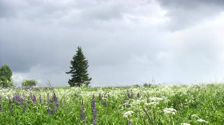 lupine : Summer field with lupine flowers and lonely pinetree