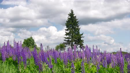 фиолетовый : Meadow with lupine flowers and lonely pinetree