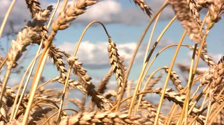 мучной : Close-up of stalk of wheat in the field