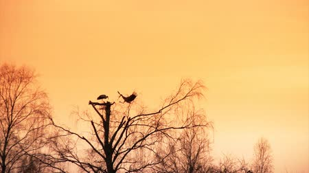 bird family : Pair of white storks build nest at sunset
