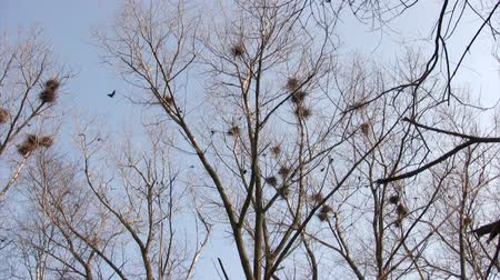 bird family : Flock of crows flying around nests against  blue sky background Stock Footage