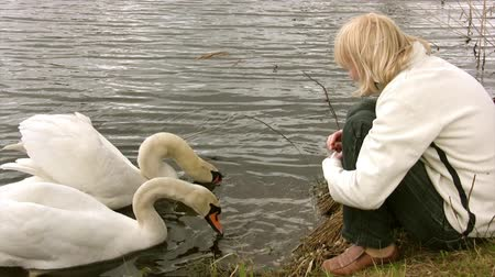 bird family :  Pair of white  swan feeding at river bank Stock Footage