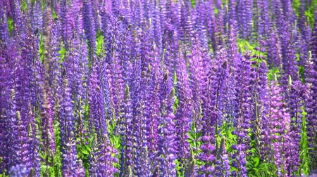 kimse : Field of blooming lupines flower