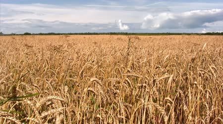 macro : Field of golden ripe wheat under  blue sky.