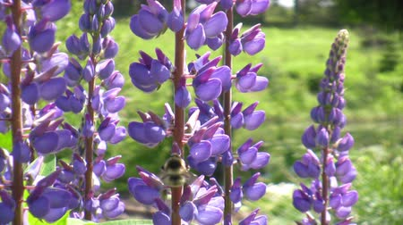 lupine : Honey bee gathering pollen from  lupine wildflower