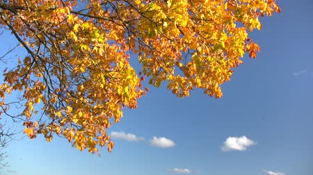folhas : Autumn leaves against  blue sky with white clouds