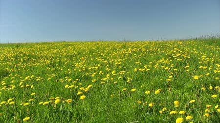 flower : Summer field of dandelions on blue sky background
