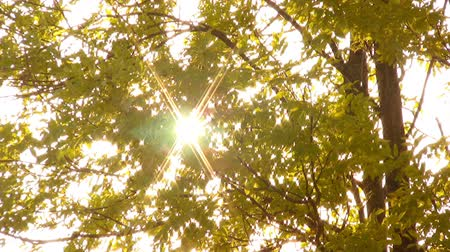 brilhar : Sunbeams appear through  foliage of tree