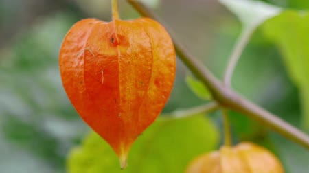gömbölyű : Physalis, brightest autumn plant Stock mozgókép
