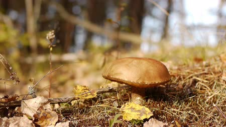 houba : Collection  mushrooms in autumn forest Dostupné videozáznamy