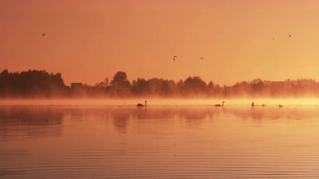 прекрасный : Pair of swans floating on the morning sunrise Стоковые видеозаписи