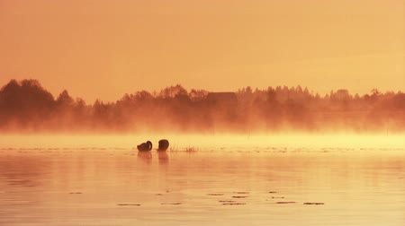bird family : Pair of swans floating on the morning sunrise Stock Footage