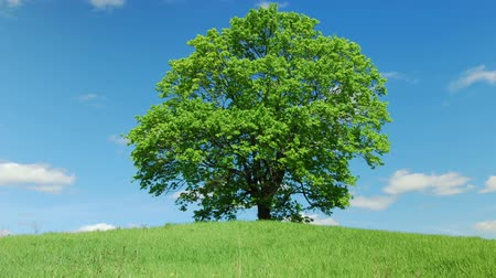 yalnızlık : Lonely old maple on green meadow against  blue sky background Stok Video