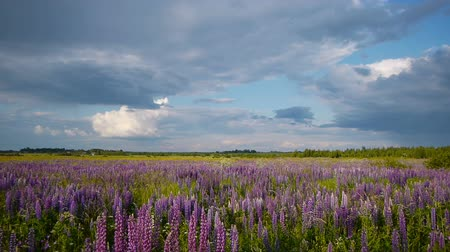 lupine : Summer field with lupine flowers before the rain