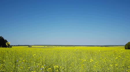 semínko : Field of yellow oilseed rape,  summertime