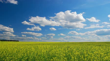 repce : Field of yellow oilseed rape,  summertime