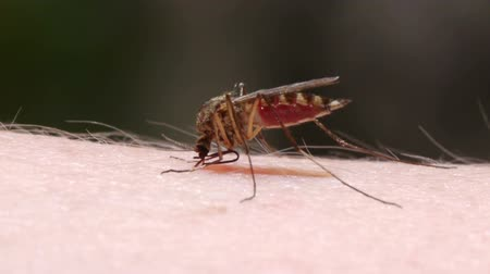 morder : Close-up shot of a mosquito blood sucking on human skin