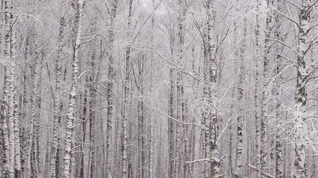 береза : Panoramic shot of trunks of birch trees in winter forest