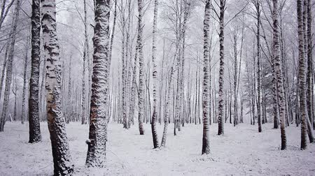 panorâmico : Panoramic shot of trunks of birch trees in winter forest
