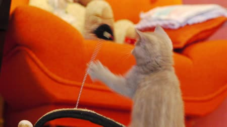 animais e animais de estimação : Kitten playing with a toy mouse at home Stock Footage