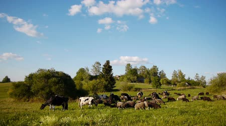 vila : Landscape shot of herd of cows and sheeps grazing on green field Vídeos