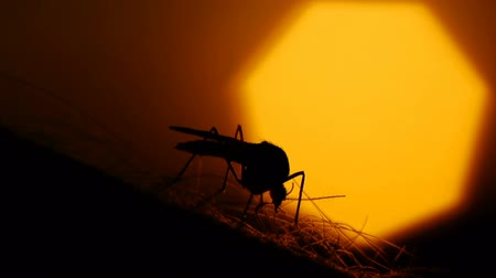 morder : Close-up shot of a mosquito blood sucking on human skin on sun background
