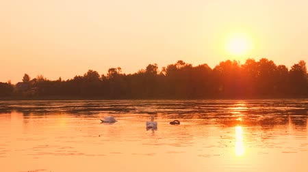 swan silhouette : Shoot of family of swans floating on the morning sunrise