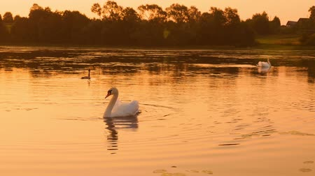 cisne : Shoot of family of swans floating on the morning sunrise