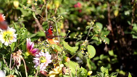 inachis io :   European Peacock (Inachis io) butterfly on white cosmos flower. Stock Footage