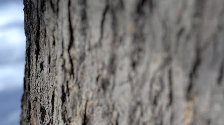 dub : Bark of oak tree. Camera moves from right to left. Shallow depth of field.