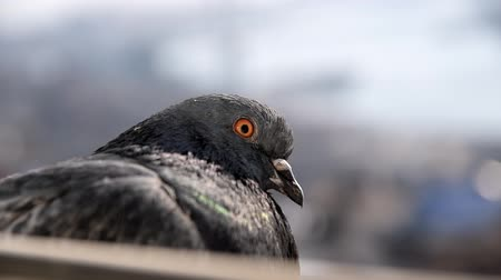 gołąb : Grey pigeon sits at a window. Selective focus.