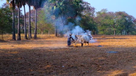 cow farm : The farmer tills the field before planting the seeds, using two zebu cows and traditional wooden plow, Bagan, Myanmar. Stock Footage