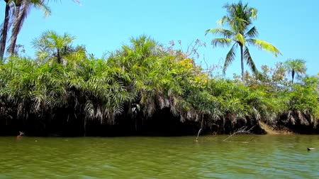 alap : The lush thickets of nypa palms along the bank of Kangy river, popular among the tourists, visiting Chaung Tha, for its mangrove forests, Myanmar.
