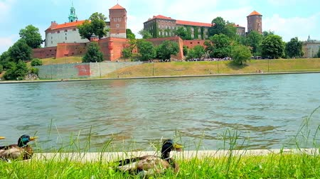 wisla : The male mallards rest in grass on the bank of Vistula river with a view on Wawel Castle on the background, Krakow, Poland.