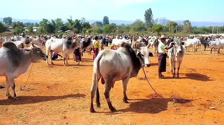 buzağı : HEHO, MYANMAR - FEBRUARY 19, 2018: The young calves, zebu cows and buffalos on grounds of the cattle fair - popular agricultural event and tourist attraction in Shan state, on February 19 in Heho.