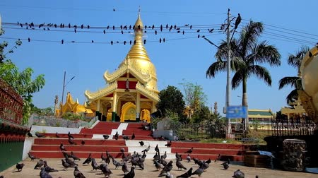 mianmar : The flock of pigeons waits for feeding in front of the Mahavijaya (Maha Wizaya) Pagoda - one of the most beautiful Buddhist temples in city, Yangon, Myanmar. Stock Footage