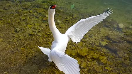 hallstatter see : The slow motion of white swan flapping the wings in a shallow water of Hallstattersee lake in Hallstatt, Salzkammergut, Austria.