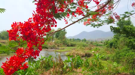 buvol : Watch the blooming branch of flame tree, swaying in the wind with a view on Pai river and green forest on background, Thailand