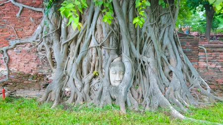 banyan : The ancient temple of Wat Mahathat with most popular site of Ayutthaya - the extant head of Buddha statue, entwined in banyan tree roots, Thailand