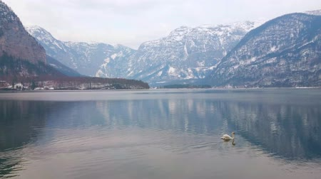 zwaan : The lonely white swan floats along the calm waters of Hallstattersee lake and leave the trail on its surface, Hallstatt, Salzkammergut, Austria