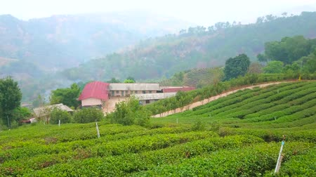 falu : Panorama of foggy tea plantation of Mae Salong Chinese Yunnan tea village, located in mountains of Chiang Rai, Thailand